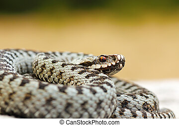 close up of male common crossed viper