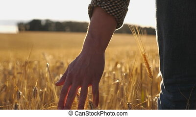 Close up of male hand moving over wheat growing on the plantation. Young man walking through the barley field and gently stroking golden ears of crop. Sunlight at background. Rear view Slow motion
