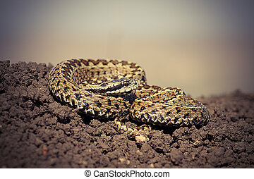 close up of male hungarian meadow adder