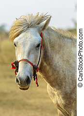 close up of male white horse in rural field looking to camera