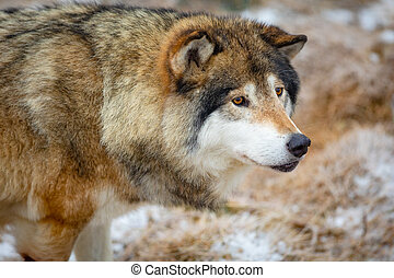 Close-up of male wolf standing in the forest in early winter