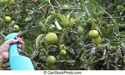 close-up of man hand with spray bottle spraying pesticide on a fruit tree