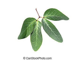 Close up of Manila Tamarind leaf (scientific name ...