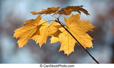 Close up of maple tree leaves at fall.