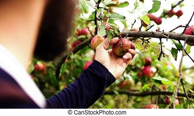 Close-up of mature man checking quality of apples in orchard...
