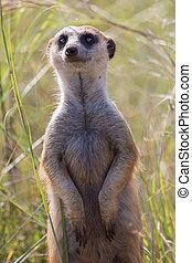 Close-up of meerkat looking for danger in long grass