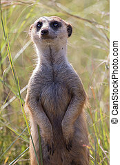Close-up of meerkat looking for danger in long grass