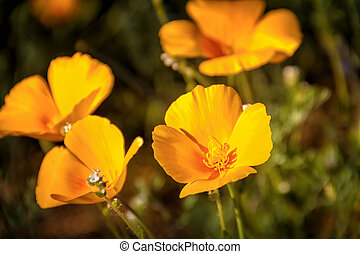 Close up of Mexican Yellow Poppies growing on the desert floot in Arizona