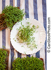Close-up of micro-greens of mustard, arugula and other plants at home.