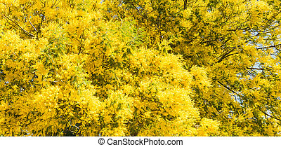 Close up of Mimosa flowers in the spring
