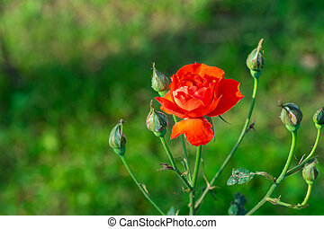 Close-up of miniature red roses flower blooming with natural background in the garden