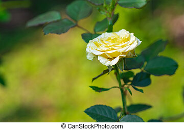 Close-up of miniature yellow rose flower blooming with nature background in the garden