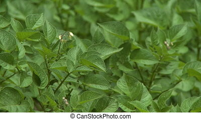 Close up of mint leaves in a field