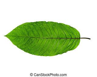 Mitragyna speciosa leaves. - Close up of Mitragyna speciosa ...