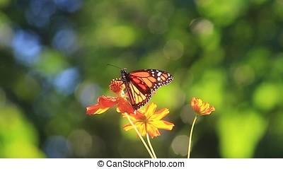 monarch butterfly - close-up of monarch butterfly of cosmos...