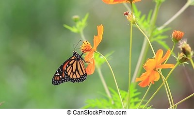monarch butterfly - close-up of monarch butterfly on orange...