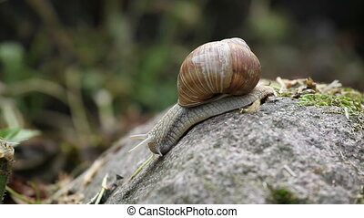 Close up of moving snail - Close up of crawling down snail...
