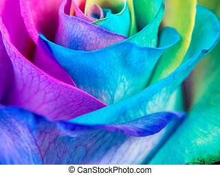 Close up of multicolored rose; pride colors