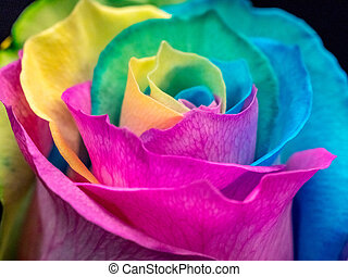 Close up of multicolored rose; pride colors