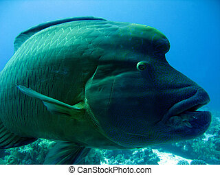 Close-up of Napoleonfish, Ras Mohammed, Egypt