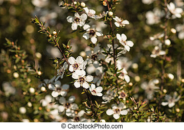 New Zealand teatree in bloom - close up of New Zealand...
