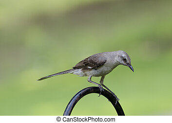 Close up of Northern Mockingbird perched in yard