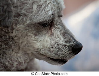 Close up of nose of old dog - Close up of the muzzle of an...