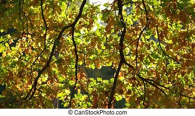 Close up of oak tree leaves. Autumn oak tree leaves in fall...