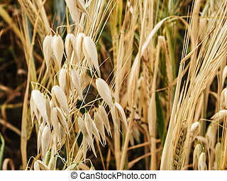 Close up of oat field.