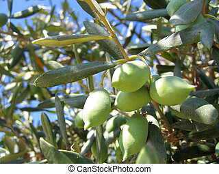 close-up of olives on the tree