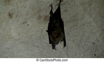 Close up of one bat hanging in a cave