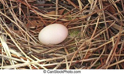 Close up of one dove egg on the nest. Columba livia ...