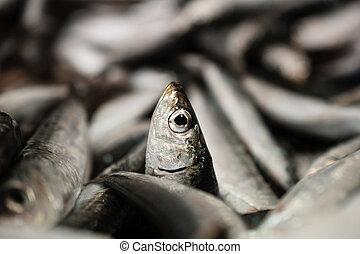 Close-Up Of One European Sardine Or Sardina Pilchardus In A...