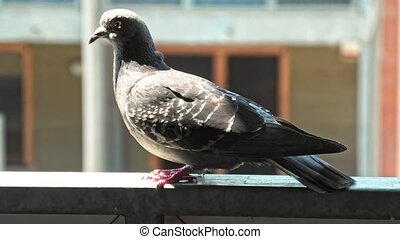 Italian common domestic pigeon - Close up of one Italian ...