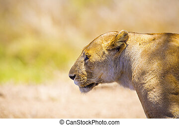 Close up of one large wild lioness in Africa