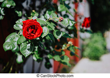 Close up of one red rose bud with green foliage and defocused street in background. Lueneburg, Germany
