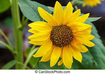 Close-up of one sunflower outdoors