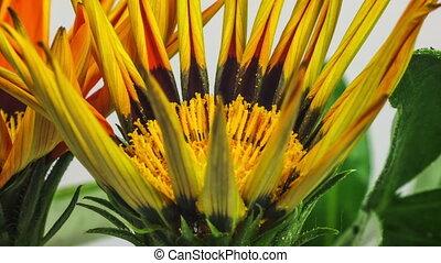 Close-up of orange gazania flower opening on a white background timelapse