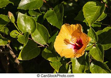 orange hibiscus flower - close up of orange hibiscus flower