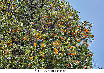 Close up of orange trees in the garden