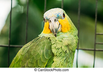 Close Up Of Orange-winged Amazon Or Amazona Amazonica, Also Known Locally As Orange-winged Parrot And Loro Guaro, Is A Large Amazon Parrot. Wild Bird In Cage.
