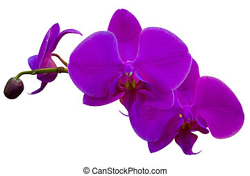 Close-up of orchid flowers isolated on white background
