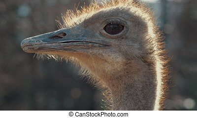 Close up of ostrich head