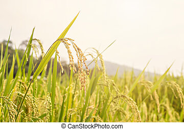 Close up of paddy rice seed