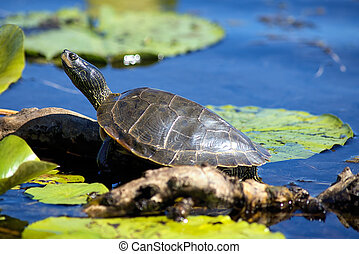 Close up of painted turtles on Point Pelee conservation area...