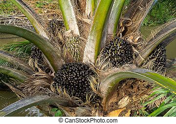 Close up of Palm seeds on tree.