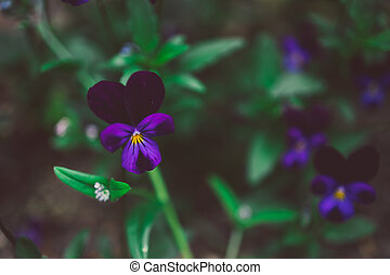 close-up of pansy plant with purple flowers outdoor