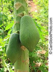 Close up of Papaya tree.