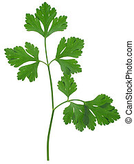 parsley sprig - close-up of parsley sprig isolated on white...