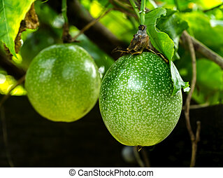 Close up of passion fruit on the vine